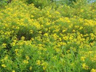 a St. John's-wort (Hypericum) or Bush honeysuckle??